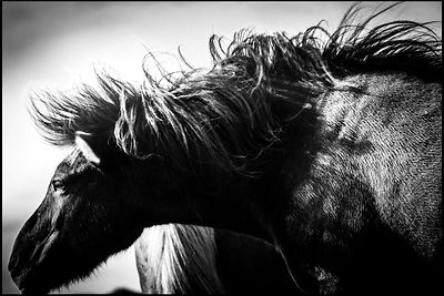 Light on the neck, Wild horse of Iceland 2015 © Laurent Baheux
