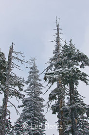 Subalpine forest during a snowstorm on Hurricane Ridge, Olympic National Park, Olympic Peninsula, Washington, USA, March, 2009_WA_8136