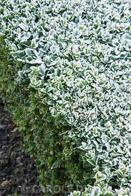 Frosty box hedge. Kingston Maurward Gardens, Dorchester. Dorset, UK