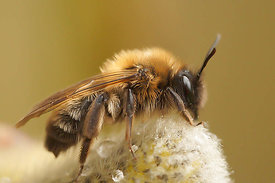 Andrena nycthemera, female
