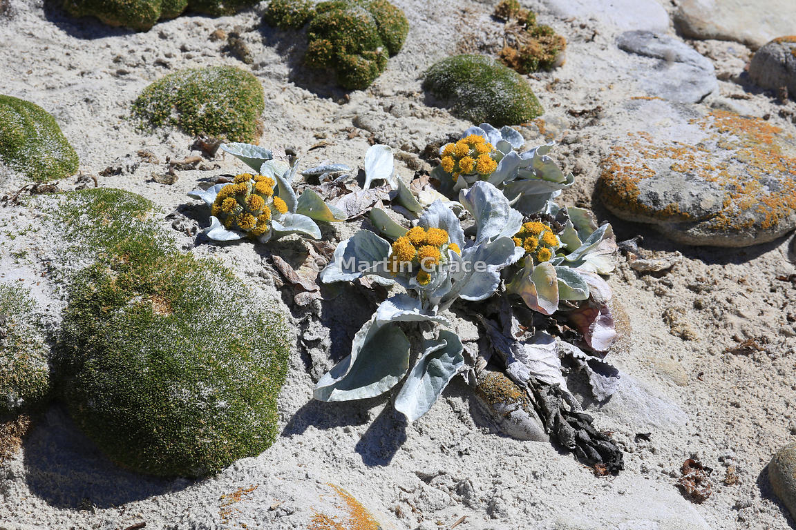 Yellow Sea Cabbage (Senecio candidans), Carcass Island, Falkland Islands