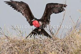 frigatebird_flight_sequence_7