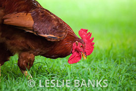 Free range chicken eating grass