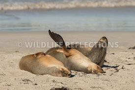 sea_lion_australian_triple_nap-1