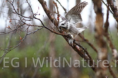 Northern hawk owl/Haukugle - Norway