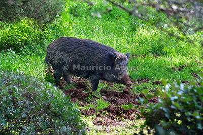 Wild Boar (Sus scrofa) at the Arrábida Nature Park. Portugal