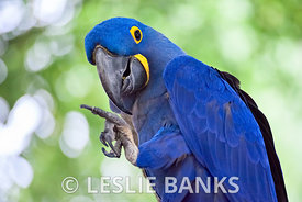 Macaws images