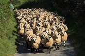 Welsh mules gimmers , running up a lane