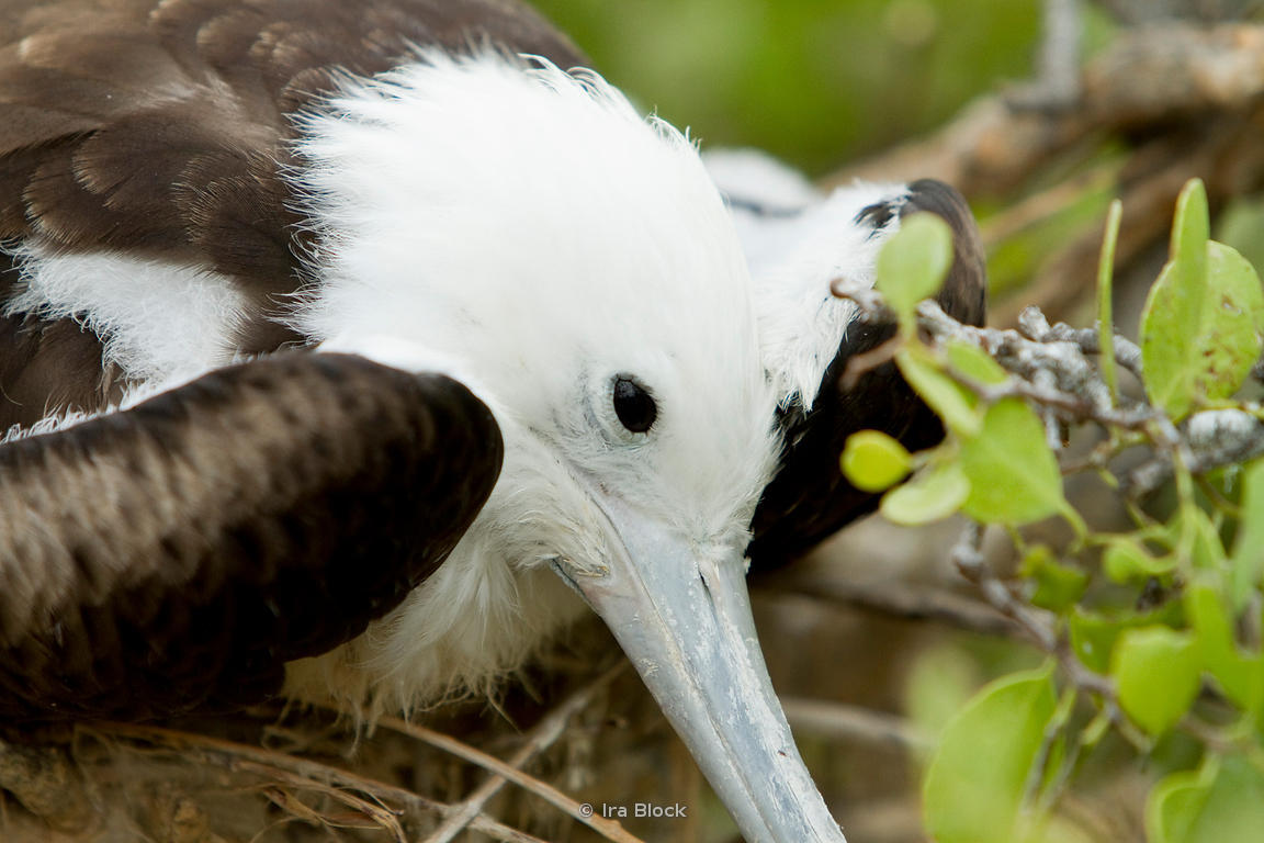 A juvenile magnificent frigatebird can be spotted by it's white head, this one was found on North Seymour Island.
