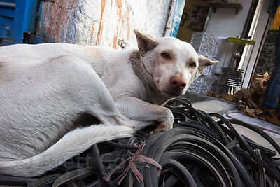 Street dog sleeping on a pile of automotive belts outside a shop, Delhi, India