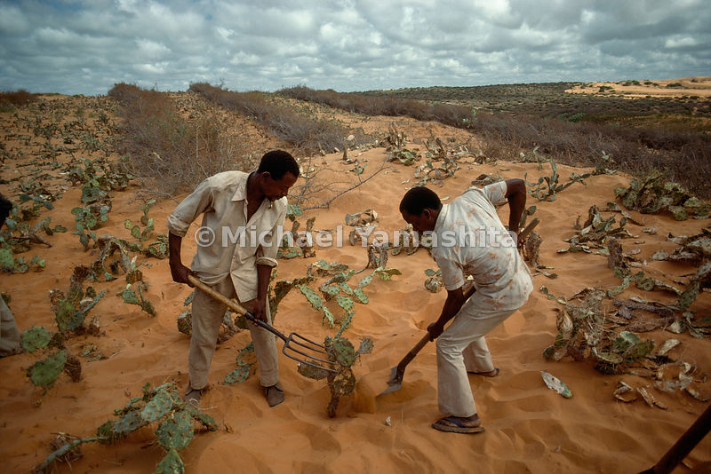 Slow-motion disaster, thousands of acres of wind-driven sand dunes south of Mogadishu threaten to engulf villages, roads, and arable land; the latter comprises only 15 percent of Somalia's area. To stem the tide, the government has mobilized volunteers and national rangeland employees in a bold effort to stabilize the planting cactuses and casuarina trees.