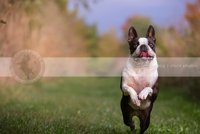 excited small black and white dog bounding in mowed grass