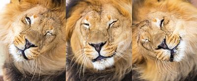 African Lion Shaking Head Series