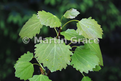 Aspen (Populus tremula) leaves, Badenoch & Strathspey, Scottish Highlands