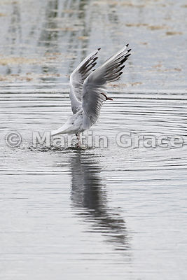 Black-Headed Gull (Larus ridibundus) in flight