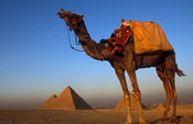 Camel in front of the Pyramids of Giza, Cairo, Egypt
