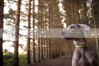 portrait of alert grey weimaraner dog in pine tree forest