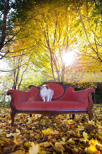 small toy breed dog on antique settee with trees with sunflare