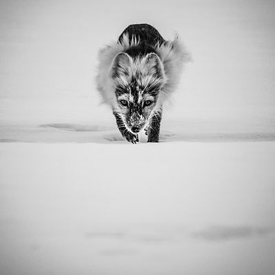 Arctic fox running straight ahead, Svalbard 2014 © Laurent Baheux