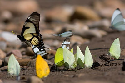 Congregation of butterflies on the sandy banks of the Tambopata River, Peruvian Amazon