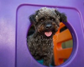 Happy black poodle mix smiling looking though round opening