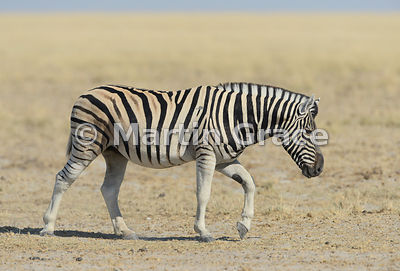 Plains Zebra (Equus burchellii) plodding, Etosha National Park, Namibia