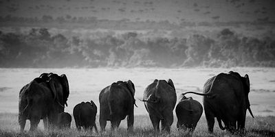 9767-Elephants_running_in_the_plain_Laurent_Baheux