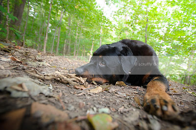sad black and tan rottweiler dog lying on forest leaves