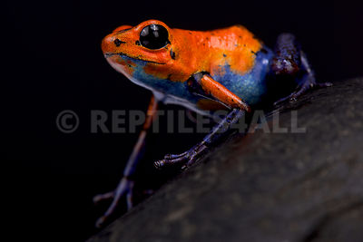 "Strawberry dart frog (Oophaga pumilio) ""Blue jeans Nicaragua"" photos"
