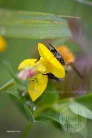 Bird's-foot-trefoil & common carder bee - Bombus pascuorum