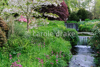 Prunus 'Shogetsu'  beside the Addicombe Brook, surrounded by flower filled grass including magenta Primula pulverulenta, red campion, blue alkanet, ferns and bluebells. Lukesland, Harford, Ivybridge, Devon, UK