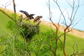 Swainson hawk babies learn to fly
