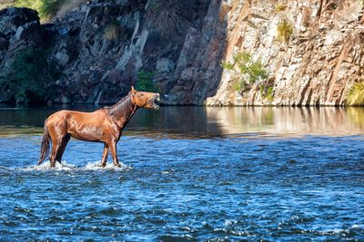 Wild Horse Neighing While in River