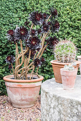 Pots of succulent plants including Aeonium arboreum 'Schwarzkopf' surround a millstone table at the end of the swimming pool garden at Cothay Manor, Somerset