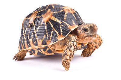 Indian star tortoise (Geochelone elegans) photos