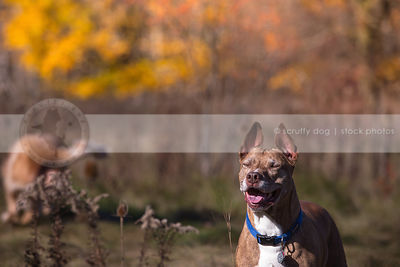 humorous stock photo of smiling senior brindle dog standing in field
