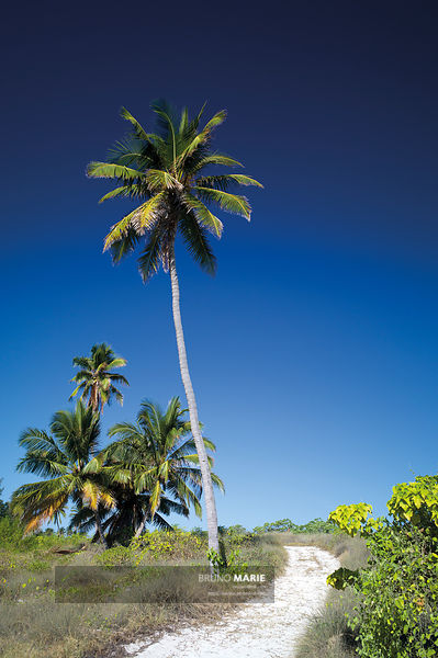 Coconut tree, Juan de Nova