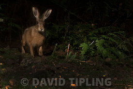 Brown Hare Lepus europaeus walking along woodland track at night Norfolk summer