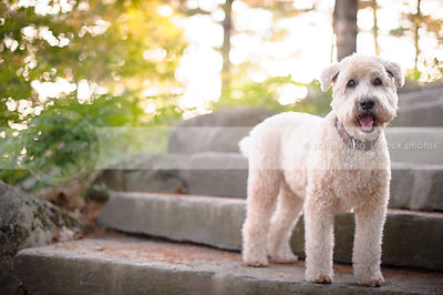 pretty blond terrier dog standing on stone steps with sunshine