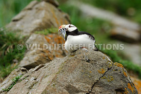 Horned Puffin Perch 9