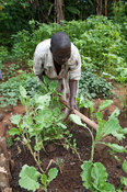 Kenyan widow woman working in her vegetable garden, working out weeds. Kenya.