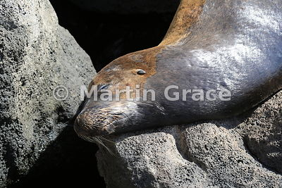 The rough with the smooth: Galapagos Sea Lion (Zalophus californianus wollebacki) sleeping on volcanic rocks at Puerto Baquerizo Moreno, San Cristobal, Galapagos