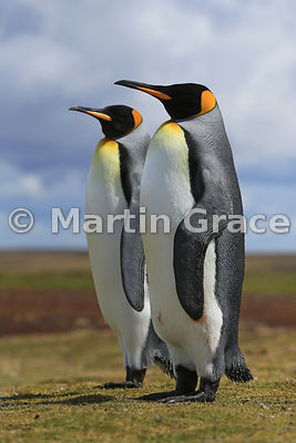 Pair of King Penguins (Aptenodytes patagonicus) standing together silently as part of their courtship, Volunteer Point, East Falkland, Falkland Islands