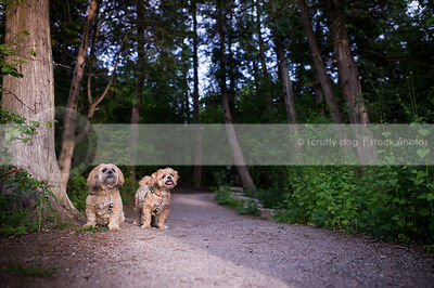 two small caramel dogs on path with summer trees