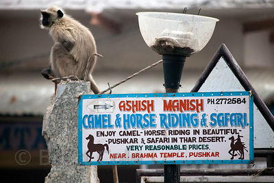 Langur monkey next to a sign for camel and horse rides in Pushkar, Rajasthan, India