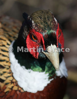 Close-up of the beautifully-coloured head of a Common Pheasant (Phasianus colchicus ssp torquatus), Lancashire, England