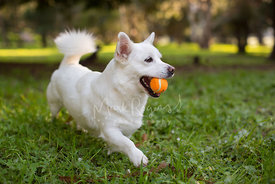White Corgi Mix Dog Walking with Orange Tennis Ball