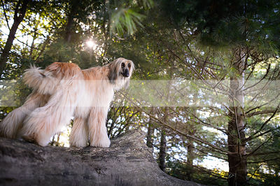 longhaired dog standing on log in pine trees with sunflare