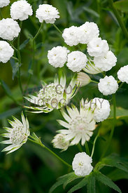 Astrantia major 'Large White' and Achillea ptarmica The Pearl in white-themed corner, Ruth's Garden