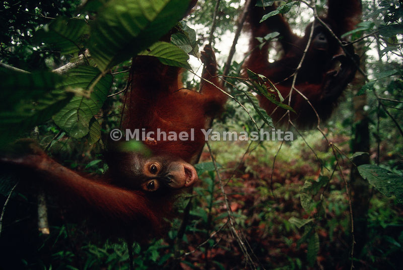 Orangutans tend to travel in small groups as well as traveling alone.